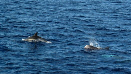 Common & Risso's dophin