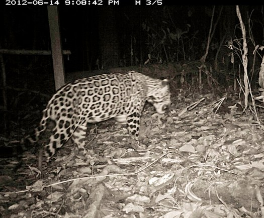 Jaguar, camera-trapped near the research station (picture courtesy of Alfredo Dosantos Santillan)