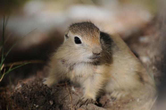 Altai ground squirrel