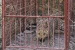 Leopard L038 in the box trap