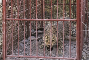 Leopard L038 in the box trap