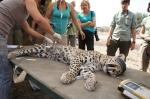 Sedated leopard LO38