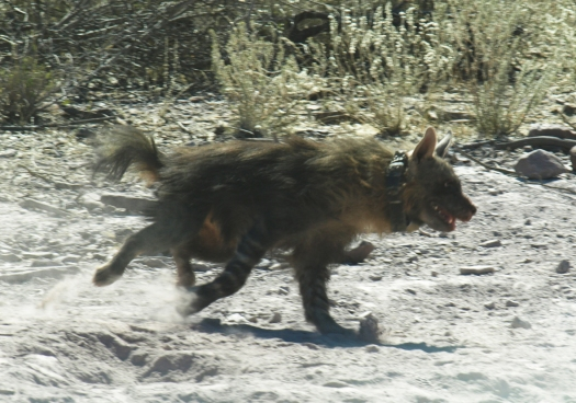 Collared hyaena