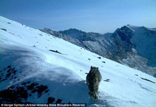Spitsyn snow leopard