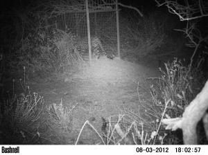 Leopard L038 walking inside the box trap