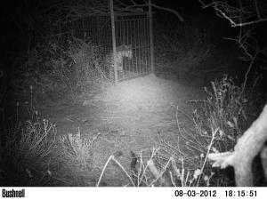 Leopard L038 caught in the box trap