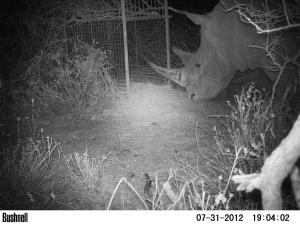 Rhino & box trap