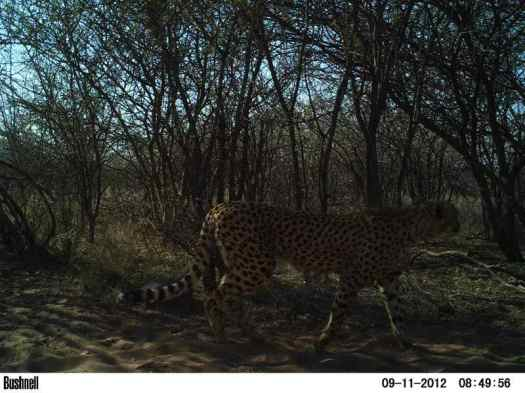 Cheetah caught in a camera trap