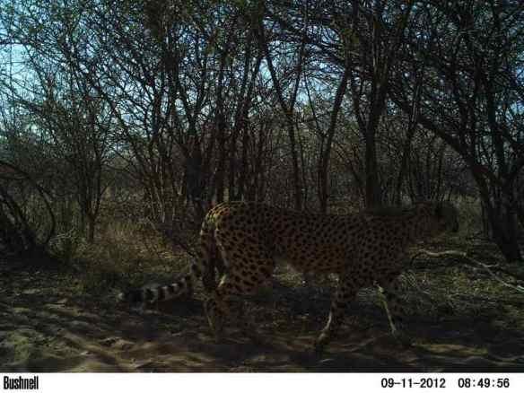 Cheetah caught in a camera trap
