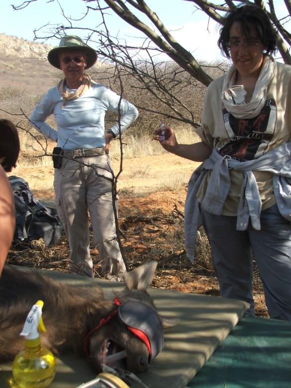 Hyaena capture & processing