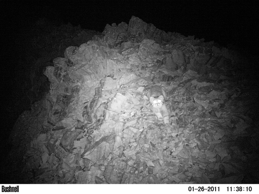 Pallas' Cat camera-trapped by Biosphere Expeditions research team at 3100 metres