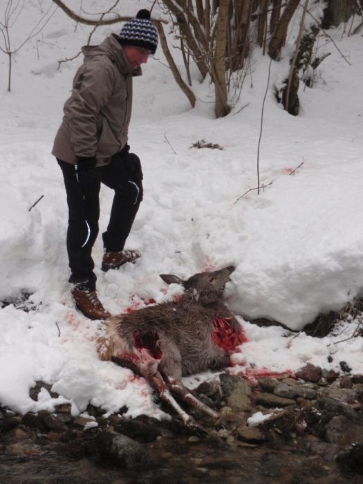 Fresh wolf kill