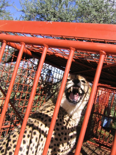 Cheetah in a box trap