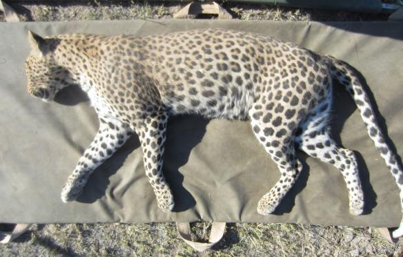 Captured leopard