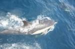 Bowriding common dolphin