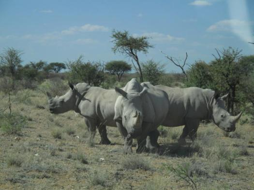 Namibia defensive rhino