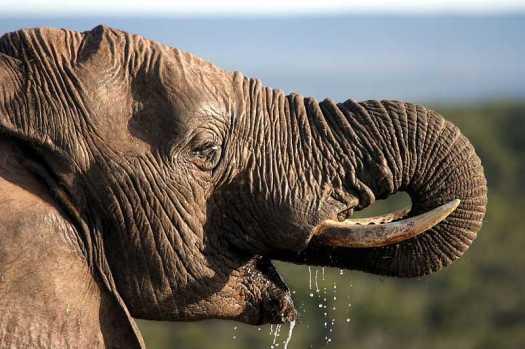Elephant drinking