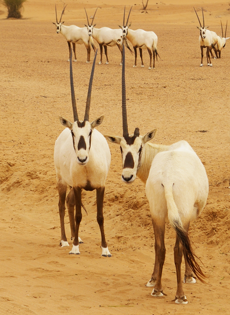 Health oryx (and their bottoms)
