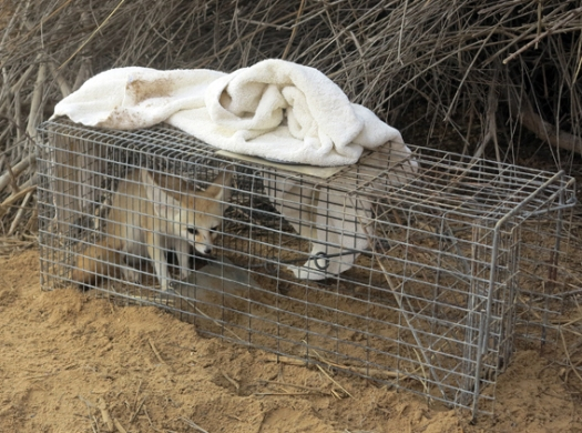 Sand fox in the live trap