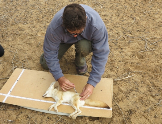Measuring the sedated sand fox
