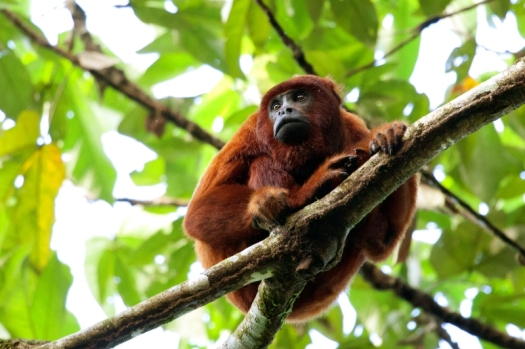 Red_howler_monkey