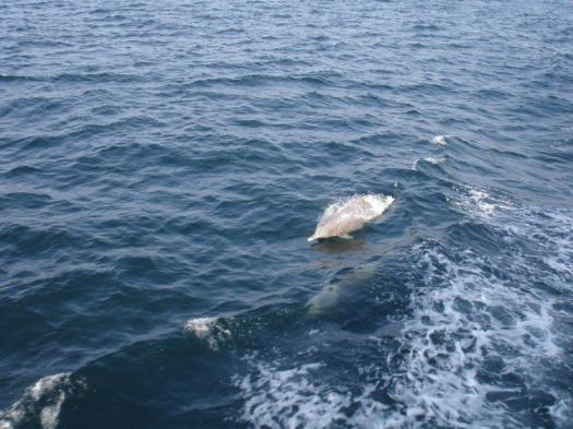 Indian ocean humpback dolphins