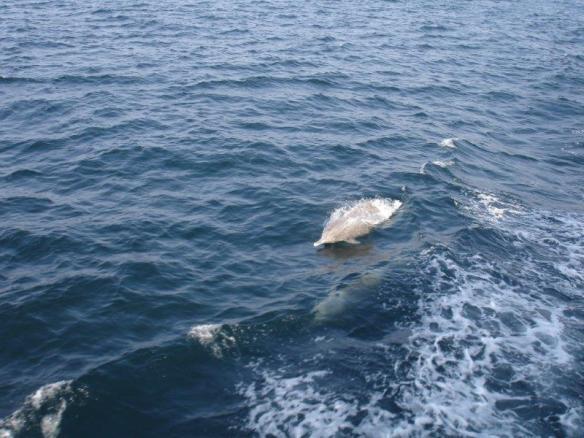 Indian ocean humpback dolphins