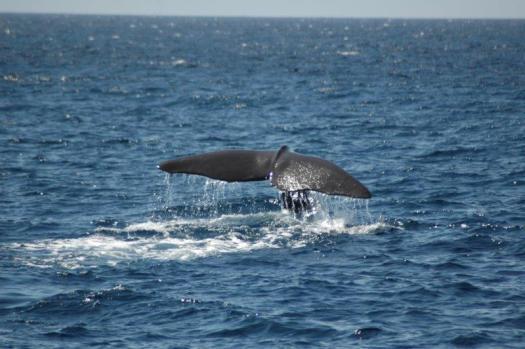 blue whale (1)