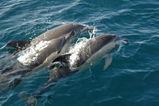 common dolphin (1)