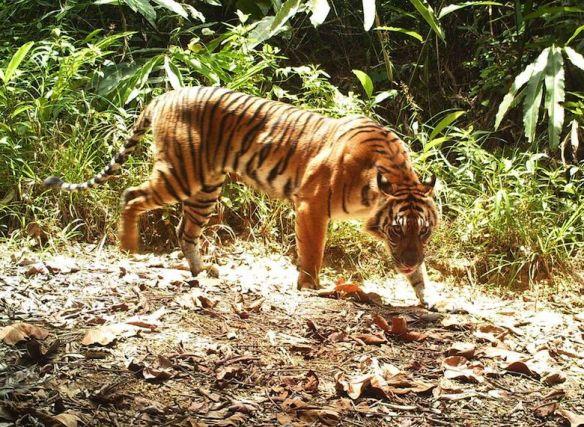 A Sumatran tiger captured by camera trap. Photo credit: WWF-KemenLHK.