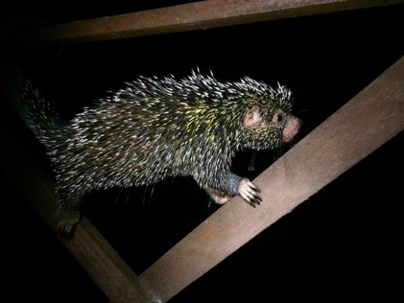 porcupine_S