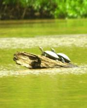 19May-turtles
