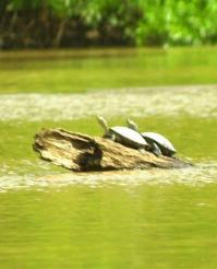 19May-turtles