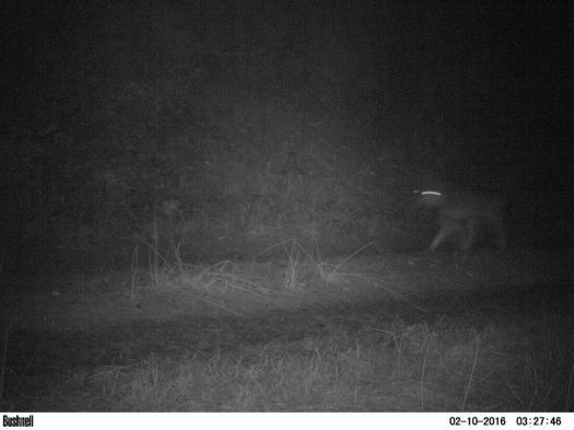 Blurred wolf camera trap picture