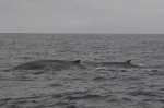 Fin whale and calf (by Julie Bork)