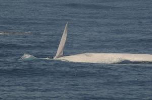 Rolling fin whale (by Uwe Burkhardt)