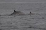 Fin whale with calf