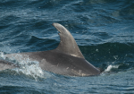 The ideal dorsal fin ID shot
