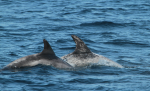 Dorsal fins of Risso's dolphins