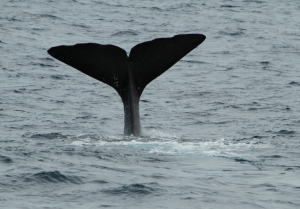 Male sperm whale seen on the same day in 2009 and 2016