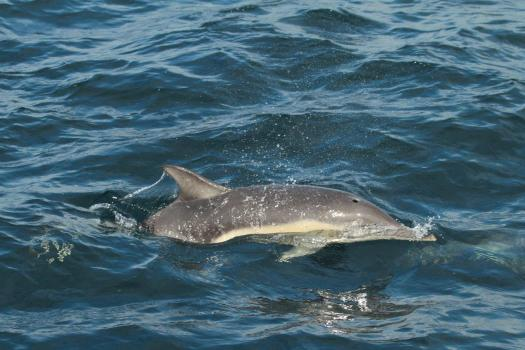 Common dolphin (Craig Turner)