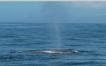 Blue whale blow