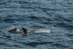 Risso's dolphin with calf (c) Craig Turner