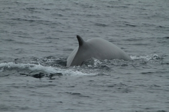Fin whale (taken by Craig Turner)
