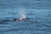 Sperm whale (taken by Craig Turner)