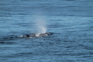 Sperm whale (taken by Craig Turner)