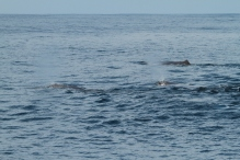 Multiple sperm whales (taken by Craig Turner)