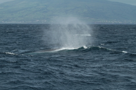 Brief sighting of a fin whale (Craig Turner)