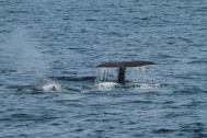 Sperm whale fluke (taken by Craig Turner)