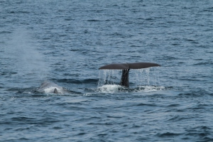 Sperm whale fluke (taken by Craig Turner)